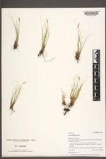 Carex filifolia image