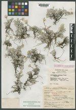 Antennaria soliceps image