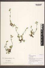 Potentilla diversifolia var. diversifolia image