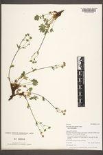 Potentilla diversifolia image