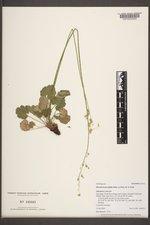 Heuchera parvifolia image