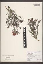 Castilleja angustifolia var. dubia image