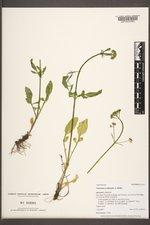 Valeriana occidentalis image