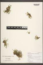 Sabulina austromontana image