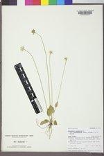 Parnassia palustris var. palustris image