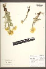 Hymenoxys grandiflora image