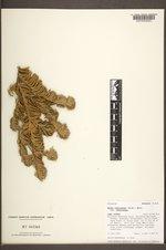 Abies bifolia image