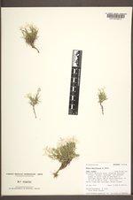 Phlox multiflora image