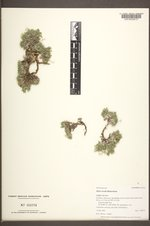 Phlox hoodii image