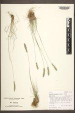 Koeleria macrantha image