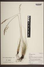 Festuca idahoensis image