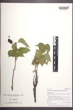 Toxicodendron rydbergii image