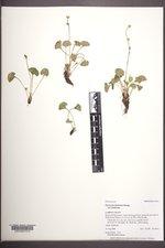 Parnassia fimbriata image