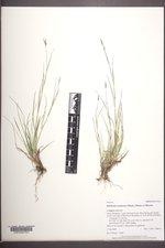 Danthonia unispicata image