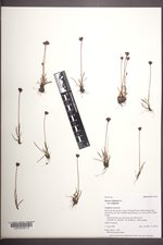 Juncus triglumis var. triglumis image