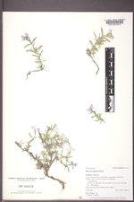 Phlox alyssifolia image
