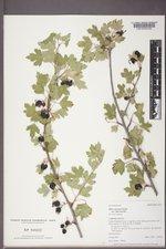 Ribes aureum image