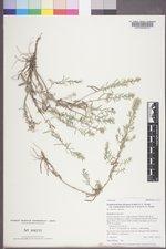 Symphyotrichum falcatum var. commutatum image