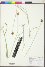 Carex egglestonii image