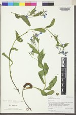 Mertensia arizonica image