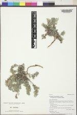 Astragalus kentrophyta image