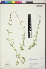 Microsteris gracilis image