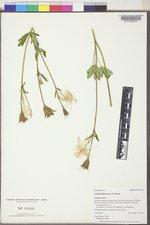 Aquilegia flavescens image