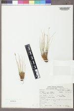 Carex elynoides image