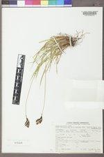Carex epapillosa image