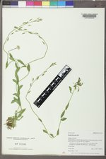 Draba borealis image