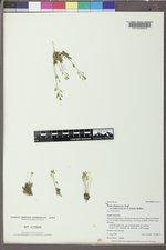 Draba fladnizensis image
