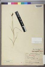 Carex raynoldsii image