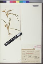 Leucocrinum montanum image