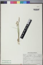 Calamagrostis montanensis image