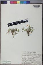 Trifolium gymnocarpon image