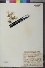 Ranunculus jovis image