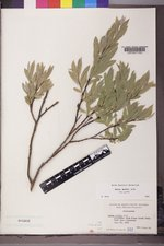 Salix wolfii image
