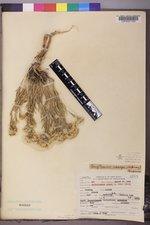 Chrysothamnus vaseyi image